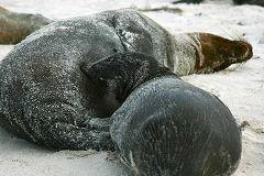 Española: leoni marini