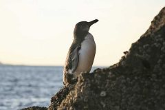 Santriago: pinguino