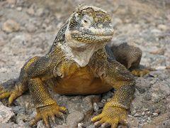 Un Iguana di terra a South Plaza
